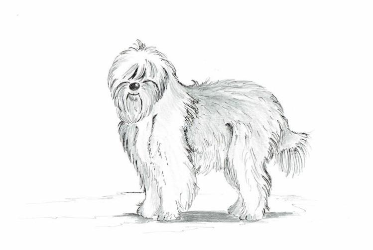 Bobtail - britische Hunderasse